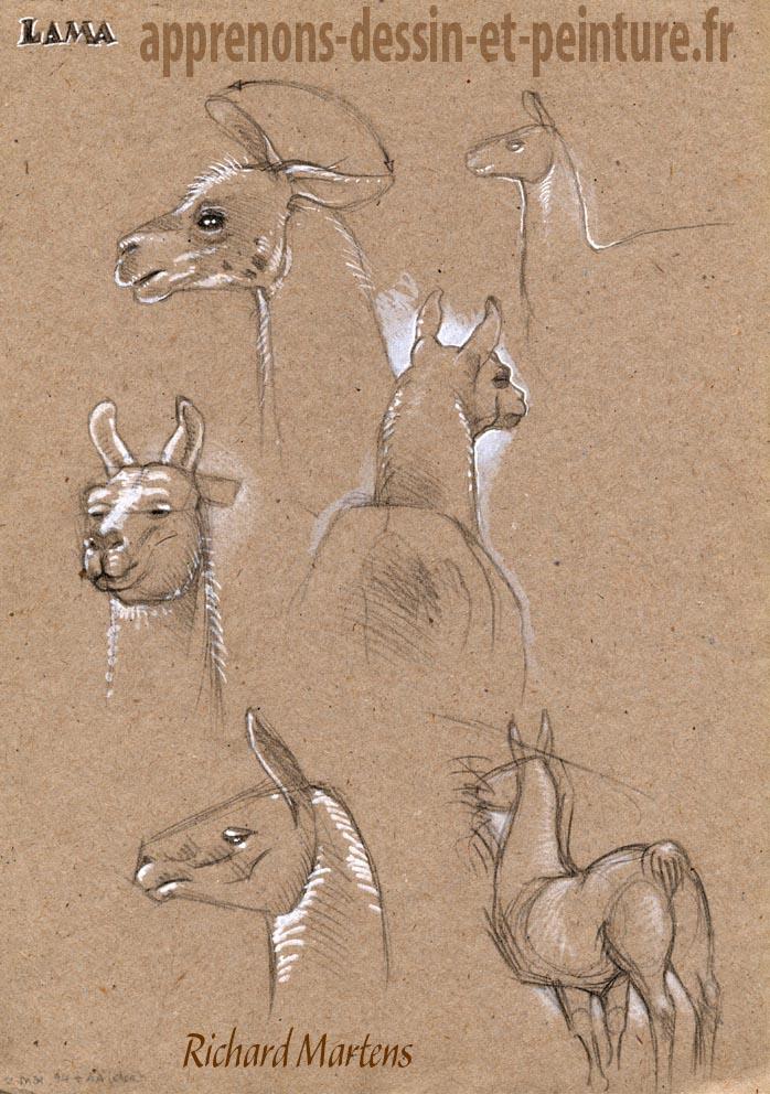 Lama vu sous différents angles, dessiné par Richard Martens, en 1994, à la Ménagerie du Jardin des plantes de Paris. Pierre noire et feutre blanc.
